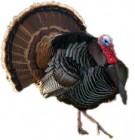 How Buddhists Celebrate Christmas: Prayer for a Turkey